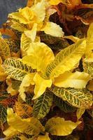 Yellow Garden Croton (Codiaeum variegatum (L.) Blume)