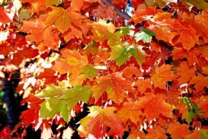 Maple tree leaves in automn photo