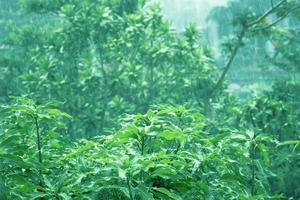 Green tree leaves wet rainy season - Stock Image
