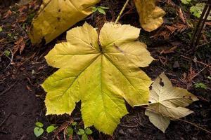 Large vine maple leaf.