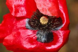 Red poppy macro