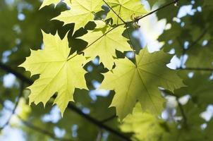 Green maple leaves photo