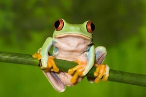 Red Eyed Tree Frog on Branch photo