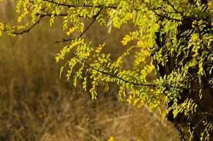 folhas amarelas de outono em um galho