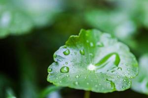 Raining on Green Lotus leaf with water drop photo