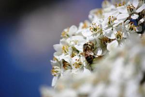 Schneeballbiene des Viburnum Tinus auf der Nahaufnahme des blauen Himmels der weißen Blumen
