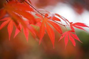 hojas rojas foto