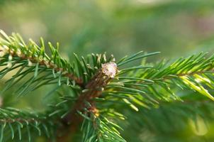 Pitch on fir tree