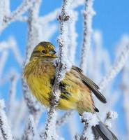 martillo amarillo en rama rimed foto