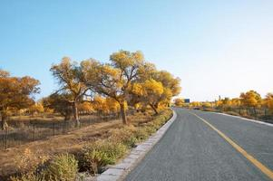 Inner Mongolia poplar photo