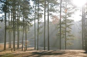 luz do sol fluindo através de pinheiros