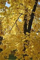 hojas de arce en otoño