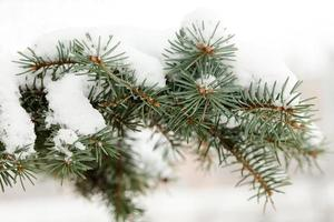Snow covered spruce branch.
