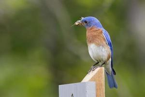 Macho pájaro azul oriental con un saltamontes en su pico