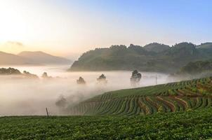 Strawberry farm when sunrise with fog, Doi angkhang, Chiangmai p