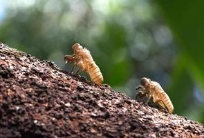 Two cicada molt on branch of tree