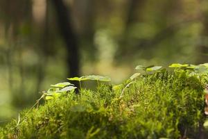 Wood sorrel, Oxalis acetosella growing among moss photo