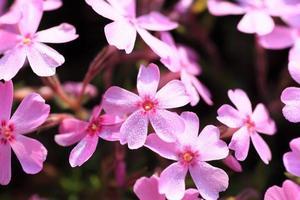 flor de prímula foto