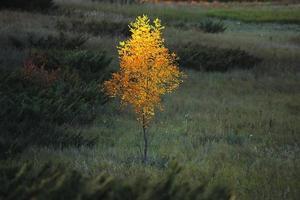 lone elm tree, sunlit