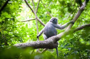 Dusky Leaf Monkey on the tree photo