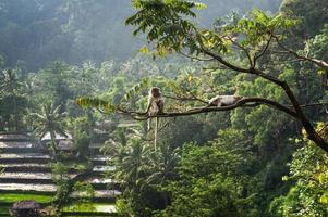 macaque (Macaca fascicularis) in rainforest sitting on tree in S photo