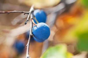 Macro image de fruit bleu du prunellier