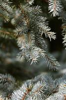 the fir branch