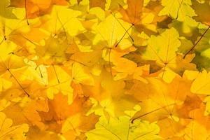 hojas de arce de oro foto
