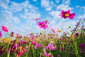 la flor cosmos de los pastizales
