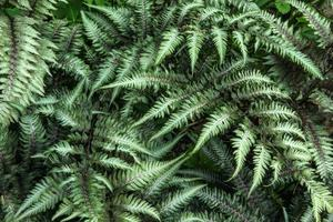 Japanese Painted Fern photo