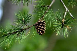 Pine Cone with Blurred Background