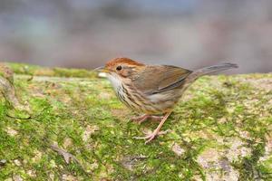 Puff-throated babbler bird