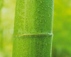 bambù verde fresco