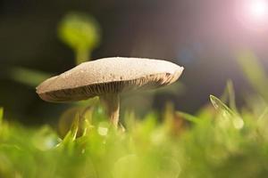 Thai mushroom photo