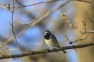 Wagtail on a branch