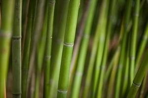 Green bamboo background photo
