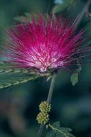 Flowers of rain tree. (Samanea saman (Jacq.))