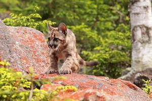 Puma kitten photo