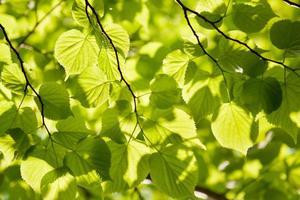 Basswoodfoliage