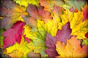fondo de hojas de arce