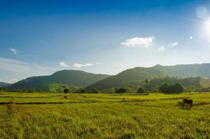 Rice field on Di Linh highland