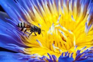 abelha na bela flor de lótus.