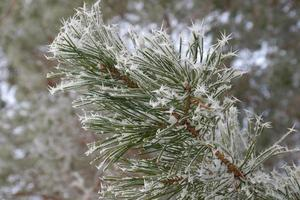 Twig of pine hoar-frost covered