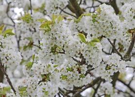 ramas con flores de cerezo foto