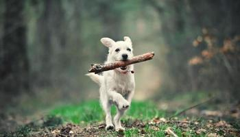 White puppy running with a stick photo