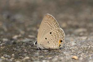 a borboleta cupido simples