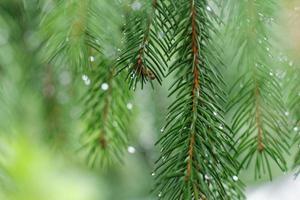 Coniferous tree branch with water drops. Macro shot