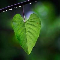 folha de coração