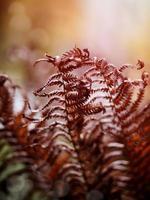 dried-up fern
