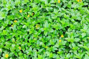 Green leaves and yellow blossoms background